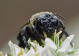 DSC00012 Waterlogged Bee