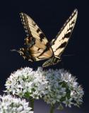 _MG_2856 Yellow Swallowtail.jpg
