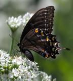 _MG_2859 Black Swallowtail