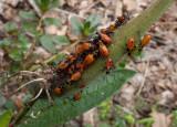 P1090058 Milkweed Bug Nymphs