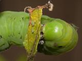 Tobacco Hornworm Eating Last Vestige of Eggplant Plant