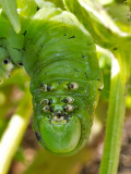 P9090998 Tobacco Hornworm Business End