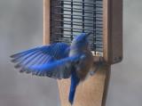 _MG_3754 Fluttering Bluebird