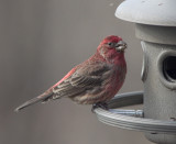 _MG_3758 House Finch