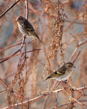 P1141792 Manual Focus - Pine Siskins