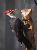 P2062180 Male Pileated Woodpecker