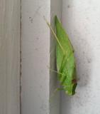 20120910_145949 Adult Katydid