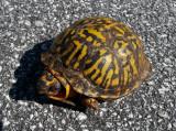 20120922_110929 Eastern Box Turtle