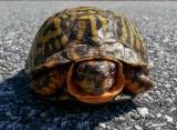 20120922_110737 Eastern Box Turtle