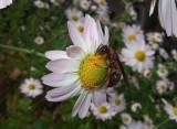DSCF8771 Paper Wasp on Chrysanthemum
