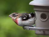 2010 Immature Male Rose-Breasted Grosbeak