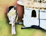 Chickadee - Listen!