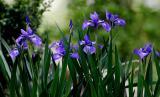 _MG_1661 Siberian Iris