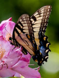 _MG_2216 Swallowtail