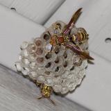 _MG_0373 Paper Wasp