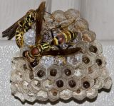 Further Wasp Development