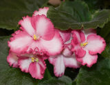 Loved the color of this African Violet