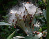 3554 Seed Pod Explosion