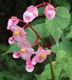 903 Perennial Begonia