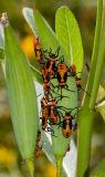 _MG_3591 Milkweed Bug Nymphs