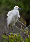 _MG_2246 Snowy Egret