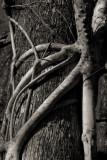 _MG_1154 Strangler Fig Roots