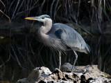 _MG_1372 Anhinga Trail Heron