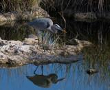 _MG_1373 Mirrored Heron