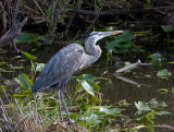 _MG_1425 Anhinga Trail Heron