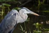 _MG_1430 Heron Closeup