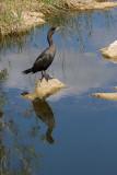_MG_1546 Mirrored Cormorant