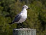 _MG_1559 Seagull