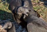 _MG_1660 Vulture Romancing