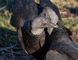 _MG_1661 Vulture Snuggle