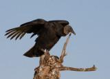 _MG_1682 Vulture on Stump
