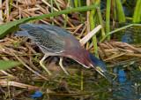 _MG_1986 Green Heron Fishing