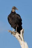 _MG_2048 Treetop Black Vulture
