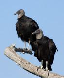 _MG_2118 Treetop Vulture Pair