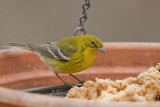 _MG_2909 Pine Warbler