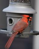 _MG_0965 First Cardinal