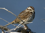_MG_4162 Song Sparrow(?)