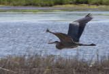 _MG_4177 Quick Heron Grab.