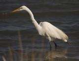 _MG_4189 Great Egret