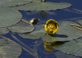 _MG_4228 Yellow Pond Lily-Nuphar Lutea