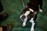 _MG_4852 Boston Terrier