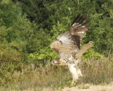 Red-tailed Hawk juvenile