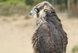 Peregrine Falcon juvenile male