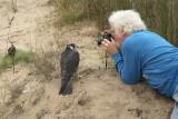 Peregrine Falcon juvenile female