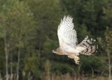 Cooper's Hawk adult female