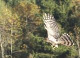 Cooper's Hawk juvenile male